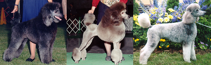 Color Genes In The Poodle